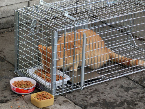 捕獲器で保護した猫.jpg